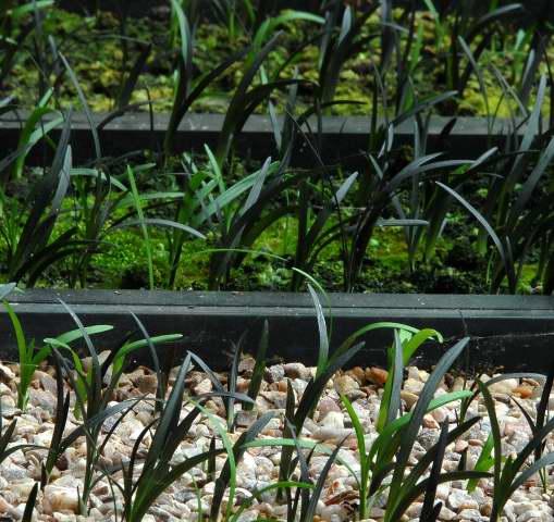 newly germinated black mondo grass.