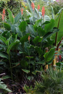 Canna altensteinii growing in a tropical border.