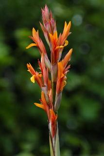 Flower of canna altensteinii.
