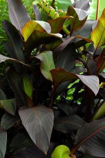 Canna indica purpurea foliage.