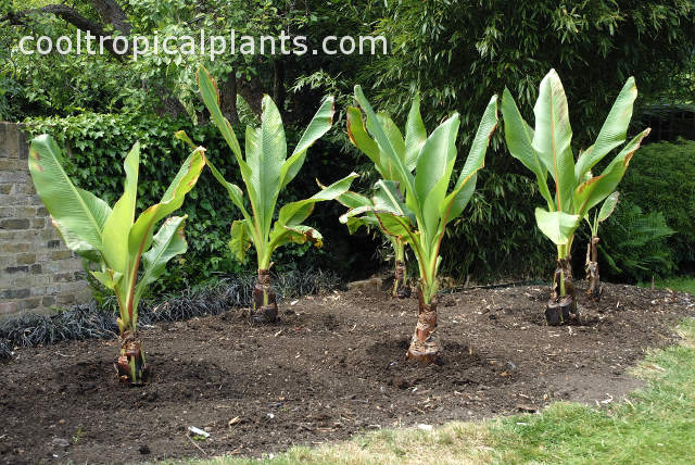 Ensete ventricosum growing in a soil devoid of Canna lilies