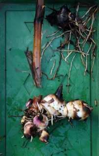 A trimmed canna rhizome.