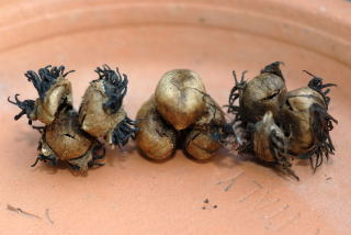 Castor oil plant seed pods