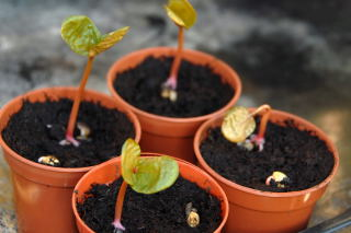 Newly germinated castor oil plants - ricinus communis