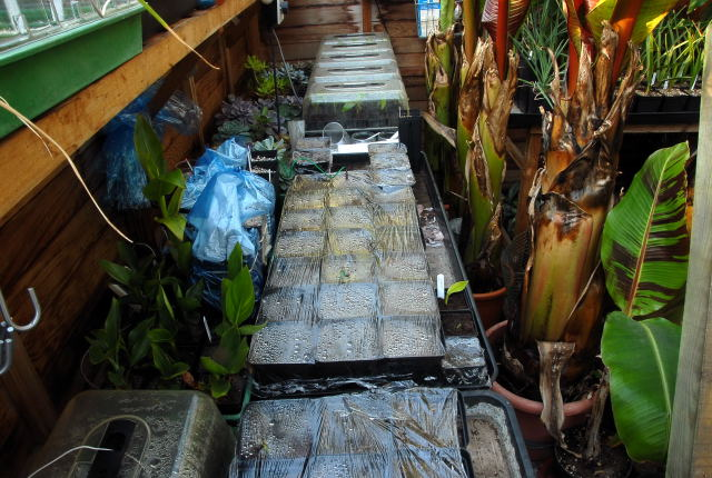 View of the greenhouse bench with assorted tropical plants developing