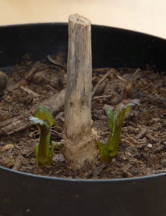 Potted dahlia tuber 2 weeks from division showing signs of life.