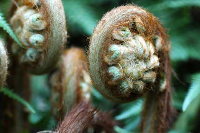 Unfurling Dicksonia antarctica fronds