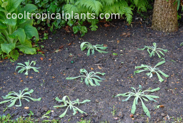 Somewhat deflated Echium wildpretii plants