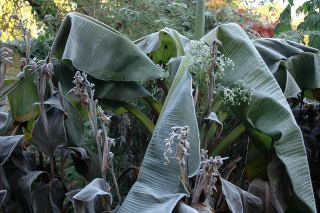 Frost damaged ensete ventricosum.