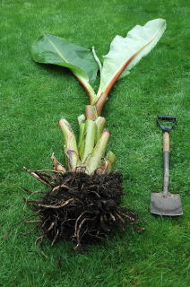 A bewildered ensete ventricosum dug up on the lawn