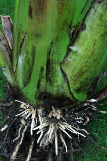 New roots on an excavated ensete ventricosum.