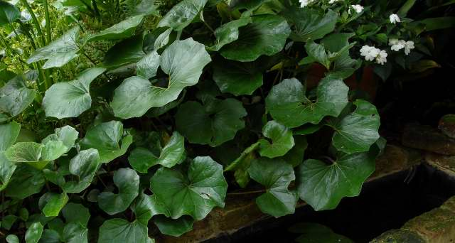 Glossy foliage of Farfugium japonica