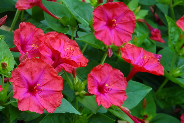 Four O'Clocks in flower.