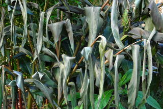Frost damaged hedychium foliage