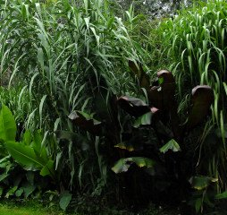 Giant reed, Arundo donax encroaching on the lawn.