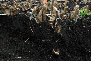 Excavated giant reed rhizome