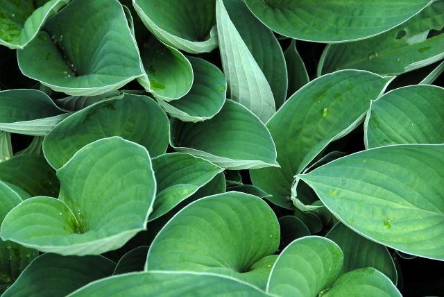 Pristine Hosta foliage