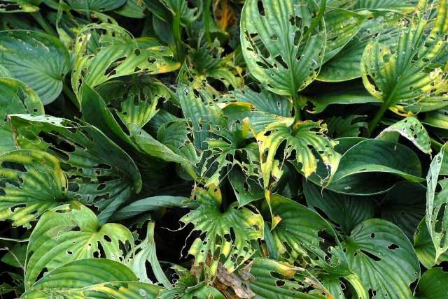Less than pristine Hosta foliage