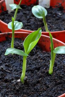 Three week old Kahili ginger seedlings