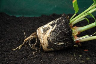 Roots of the Kahili ginger