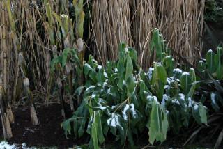 Frost damaged foliage of Hedychium gardnerianum