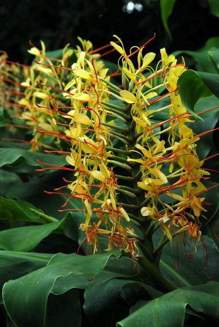 kahili ginger flowers