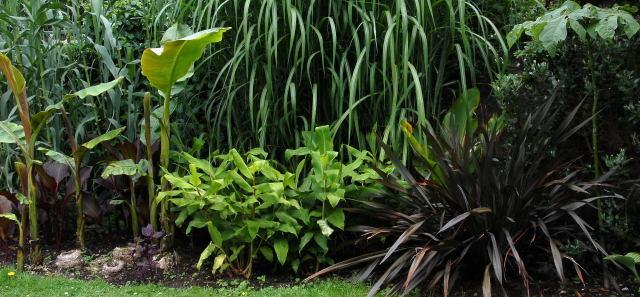 Hedychium gardnerianum newly planted out