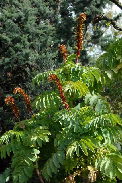 Melianthus major with flowers
