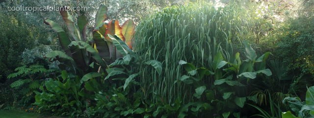 Miscanthus grass in the dawn rays