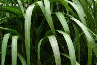 Miscanthus grass - floridulus