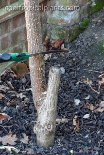 Removing the stem of a paulownia tomentosa