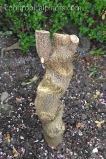 The Paulowina stump a few years later