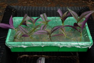 Strobilanthes dyerianus cuttings.