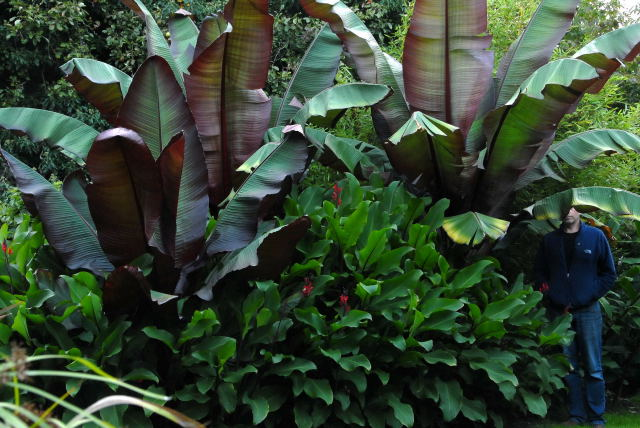 Red abysinian babanas and canna.