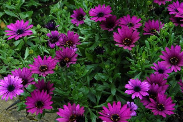 Purple osteospernums