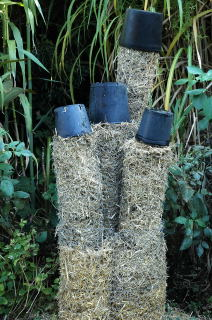 Straw filled plastic pots potect the extreme tips of the stems.