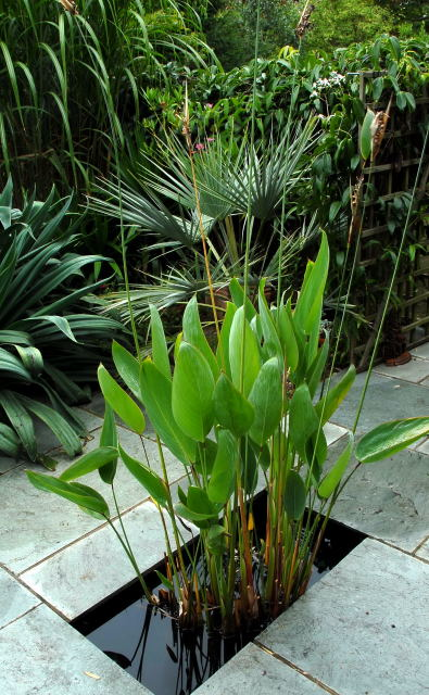 Thalia dealbata growing in a pond
