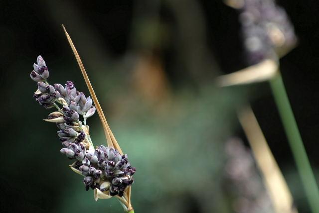 Thalia dealbata flowers