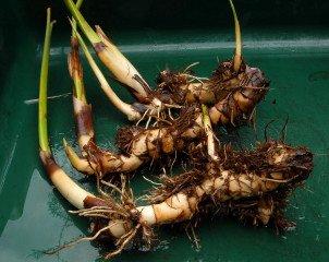 Thalia dealbata rhizomes