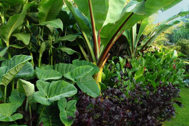 elephant ear plant (Xanthosoma) growing in a mixed tropical foliage border